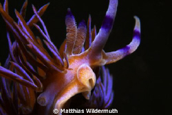 A very common Nudibranch in Sydney and usually crawling. ... by Matthias Wildermuth 